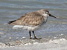 Red Knot RWD2.jpg