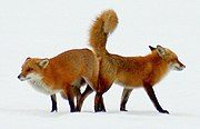 Red foxes mating (2).jpg