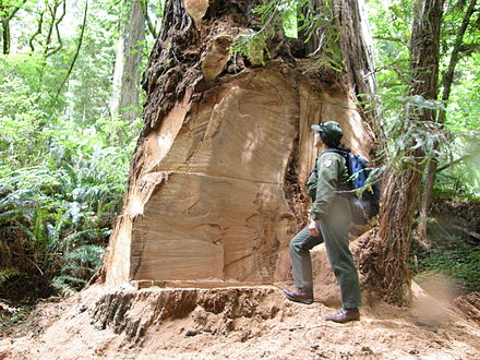 Un guardabosques inspecciona una secuoya talada ilegalmente para obtener madera de raíz (Parque nacional y estatal de Redwood, California)