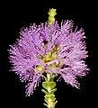 Regelia ciliata - Flickr - Kevin Thiele.jpg