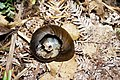 Remaining shell of a snail likely eaten by a possum.jpg