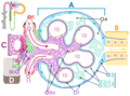 Renal corpuscle Inkscape.png