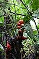 Renealmia thyrsoidea (Zingiberaceae) (31540118763).jpg