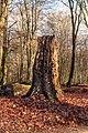 Restant van dode boom. Locatie, Kroondomein Het Loo. 25-12-2020 (d.j.b.) 02.jpg