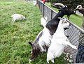 Reykjavík Zoo 2014-08-02-13.jpg
