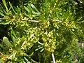 Rhamnus lycioides 4a.jpg
