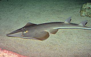Rhinopristiformes order of flat-bodied cartilaginous marine fishes