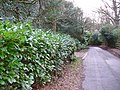 Rhododendron-lined Lane, Wishanger - geograph.org.uk - 353272.jpg