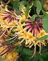 Rhododendron austrinum (27531061595).jpg