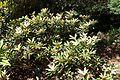 Rhododendron degronianum ssp. yakushimanum - VanDusen Botanical Garden - Vancouver, BC - DSC07096.jpg