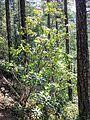 Rhododendron macrophyllum (Pacific rhododendron) - Flickr - brewbooks.jpg