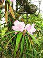 Rhododendron makinoi 1.JPG