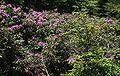 Rhododendron ponticum 1.jpg