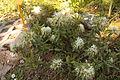 Rhododendron tomentosum 079.jpg