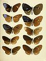 Rhopalocera Malayana BHL9346060.jpg