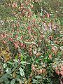 Ribes x beatonii (13620537895).jpg