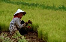 A rice field with a farmer kneeling, picking rice plantlets