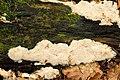 Rigidoporus.sanguinolentus.-.lindsey.jpg