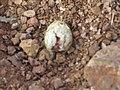 River tern-Broken eggs01 - Koyna 042011.JPG