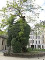 Robinier (Paris 2014) 02.jpg