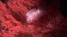 A rockfish hides in a red tree coral.