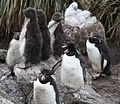 Rockhopper Penguins on West Point Island (5545961816).jpg
