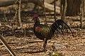 Rooster on Pulau Komodo - Indonesia.jpg