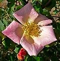 Rosa Irish Fireflame 2.jpg