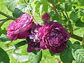 Rosa gallica1.jpg