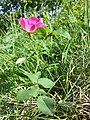 Rosa gallica sl11.jpg