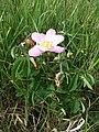 Rosa gallica sl45.jpg