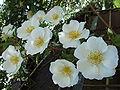 Rosa laevigata flowers.JPG