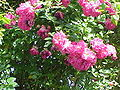 Rosa sp.24.jpg