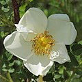 Rosa spinosissima inflorescence (92).jpg