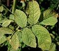 Rosa villosa leaf (01).jpg