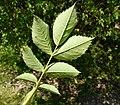 Rosa villosa leaf (10).jpg