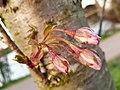 Rosales - Prunus padus - 18.jpg
