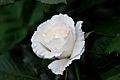 Rose, Margaret Merril - Flickr - nekonomania (5).jpg