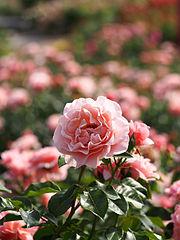 Rose, Umilo, バラ, ウミロ, (9587763884).jpg