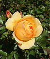 Rose 'Julia Child' - Humboldt Botanical Garden - Eureka, California - DSC02556.JPG