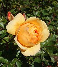 Rose 'Julia Child' - Humboldt Botanical Garden - Eureka, California - DSC02556.JPG