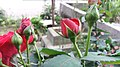 Rose flower 1111.jpg