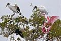 Roseate Spoonbills (Platalea ajaja) and Wood Storks (Mycteria americana) (29025645341).jpg