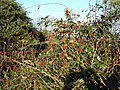 Rosehips - geograph.org.uk - 81587.jpg