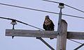 Rough-legged Hawk (11911992876).jpg