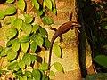 Rough Mabuya (Eutropis rudis) in sunset light (15686627121).jpg