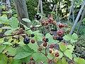 Rubus atrovinosus - Botanischer Garten, Frankfurt am Main - DSC02475.JPG
