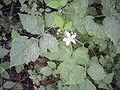 Rubus caesius habit.jpg