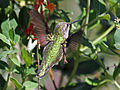 Ruby-throated Hummingbird (Archilochus colubris) RWD5.jpg