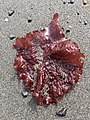 Ruby sea treasure.jpg